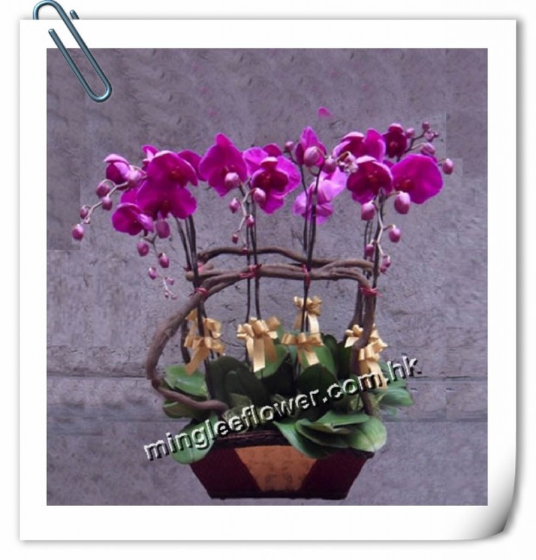 Phalaenopsis (Each)